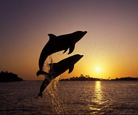 Two dolphins leaping at sunset