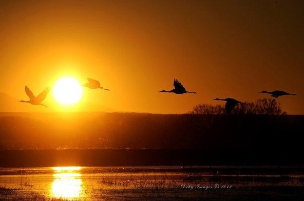 geese in sunset